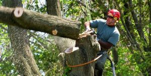 Tree removal - cutting the main trunk off